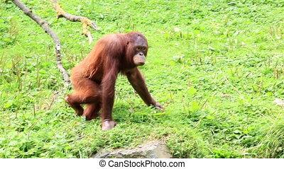 Bornean orangutan - Female Bornean orangutan in Republic of...