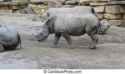 Cub Southern White Rhinoceros with mother. Republic of...