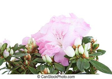 flores, de, Um, Cor-de-rosa, azaléia, fim, cima,