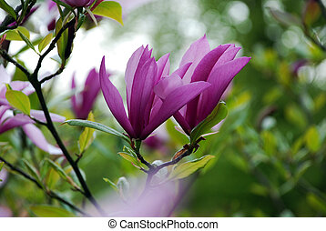 Beautiful spring magnolia tree flow - Purple magnolia tree...