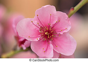 Closeup of flower nectarines - Closeup of a nectarine flower...