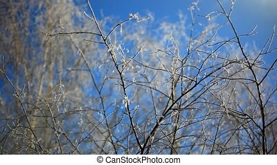 Snowy birch branches in winter sunny day against clear blue...