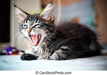 Close up of Black tabby color Maine coon kitten - Portrait...