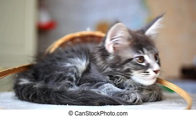 Blue tabby color Maine coon kitten HD 1920x1080 - Portrait...