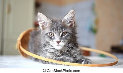 Blue tabby color Maine coon kitten. HD. 1920x1080 - Portrait...