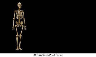 Human Skull  Human Skull