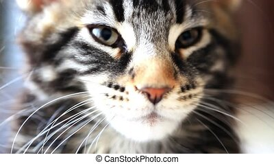 dormant Black tabby color Maine coon kitten close up HD...