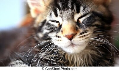 dormant Black tabby color Maine coon kitten close up. HD....