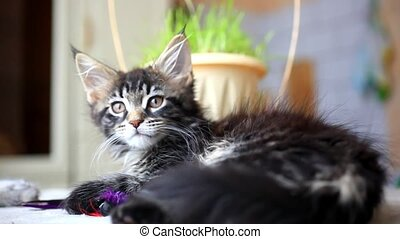 Black tabby color Maine coon kitten playing at grass. HD. 1920x1080
