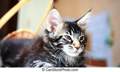 Black tabby color Maine coon kitten - Portrait of black...