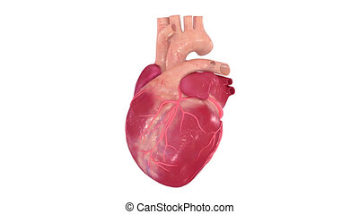 Heart - The human heart is a vital organ that functions as a...