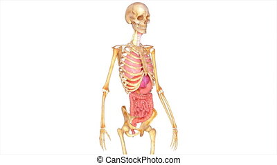 Skeleton with organs is a collection of sciencepics