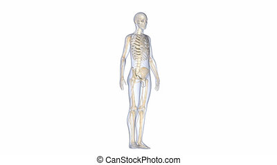 Body with Skeleton - The human skeleton is the internal...