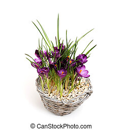 Crocus flowers in pot, isolated on white