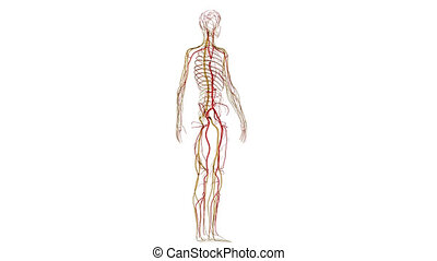 Arteries and nerves - The Circulatory System is responsible...