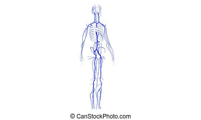 Veins - A vein is an elastic blood vessel that transports...
