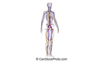 Skeleton with nervous system - The skeletal nervous system...