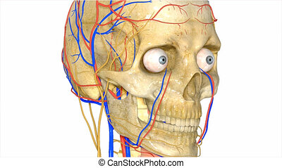Skull with circulatory system - The Circulatory System is...