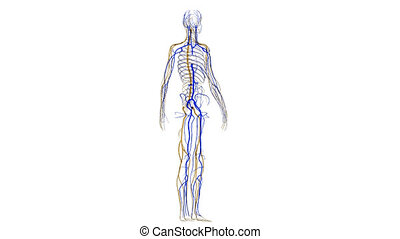 Veins and nerves - The Circulatory System is responsible for...
