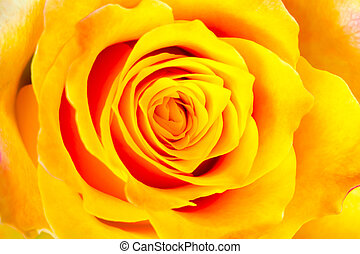 yellow rose - bud of the yellow rose