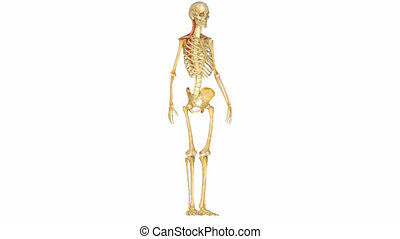 muscles skeleton system - Muscles of a stomach muscles...