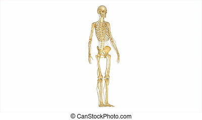 Skeleton with nerves - The Circulatory System is responsible...