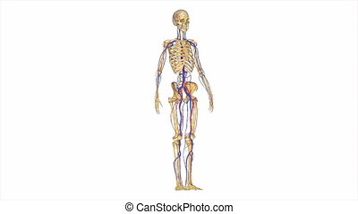 Skeleton with circulatory system - The Circulatory System is...