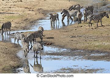 Common Zebra's drinking - Common Zebra group drinking from...