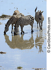 Group of Zebra drinking water.