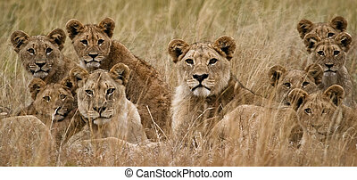 African Lion - Family of African Lions looking very alert