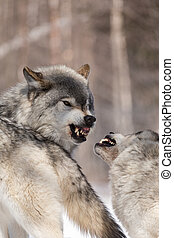 Timber wolves in winter