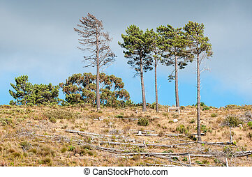 Wooden bench next to pine trees near Sir Lowrys Pass in the...