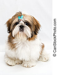 Puppy Shih Tzu - Shaggy puppy Shih Tzu sits on a white...