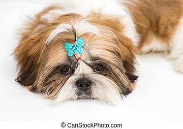 Puppy Shih Tzu - Shaggy puppy Shih Tzu lays on a white...