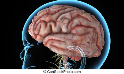 Brain - The human brain has the same general structure as...