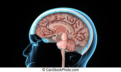 Brain inner parts - The human brain has the same general...