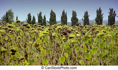 sunflowers in tuscany - Agriculture, farming. Landscape with...
