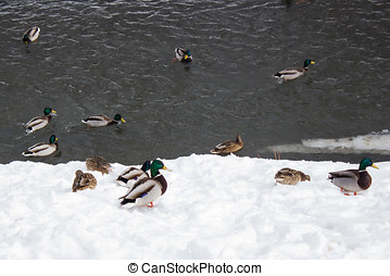 Flock of ducks on the winter river