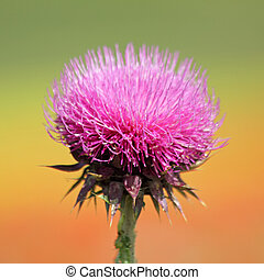 inflorescence of thistle