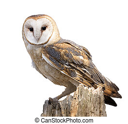 Barn Owl - A barn owl perched on a dead tree stump. Barn...