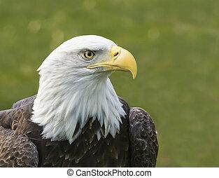 鷹, 美國人, 禿頭
