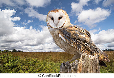 Barn Owl - A barn owl perched on a dead tree stump in a...