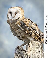Barn Owl - A barn owl isolated and palced on a blue sky...