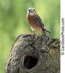 American Kestrel - An American Kestrel perched on a tree...