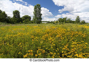 Black-Eyed Susans - A field of yellow flowers called...