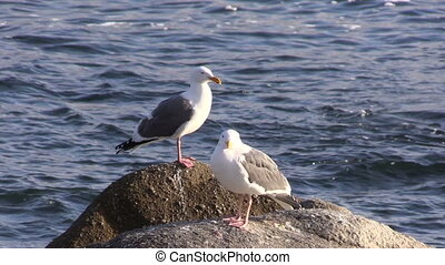 Seagulls - seagulls sitting on rock on the california coast
