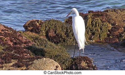 Great Egret - a great egret looks for food on the california...