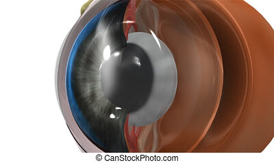 Eye lens - The human eye is an organ that reacts to light...