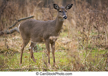 White Tail Deer - A beautiful white tailed deer doe standing...