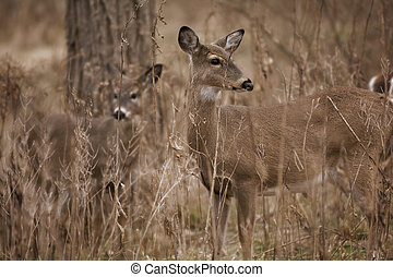 White Tail Deer - Two white tailed deer standing alert in...